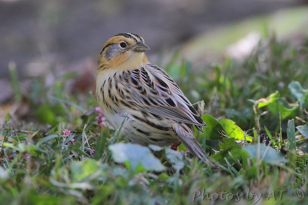 """Sparrows: <span style=""""color:#fff; background:#333;"""">LeConte's Sparrow </span> <br><span class=""""showLBtitle"""">                                             </span> Tower Grove Park <br> St. Louis, Missouri <br> <a href=""""/Birds/2010-Birding/Birding-2010-October/2010-10-14-Tower-Grove-Park/i-hdCCgWd"""">2010-10-14</a> <br> <br> My 1st Missouri photo, species #291 <br> 2010-10-14 13:00:56 <br> <div class=""""noshow"""">See #291 in photo gallery <a href=""""/Birds/2010-Birding/Birding-2010-October/2010-10-14-Tower-Grove-Park/i-TQPzCWx"""">here</a></div>"""