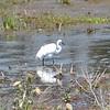 Mystery Heron/Egret