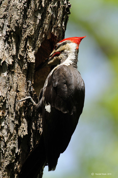 Pileated Woodpecker Presenting Food
