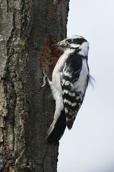 Downy Woodpecker Excavating Nest