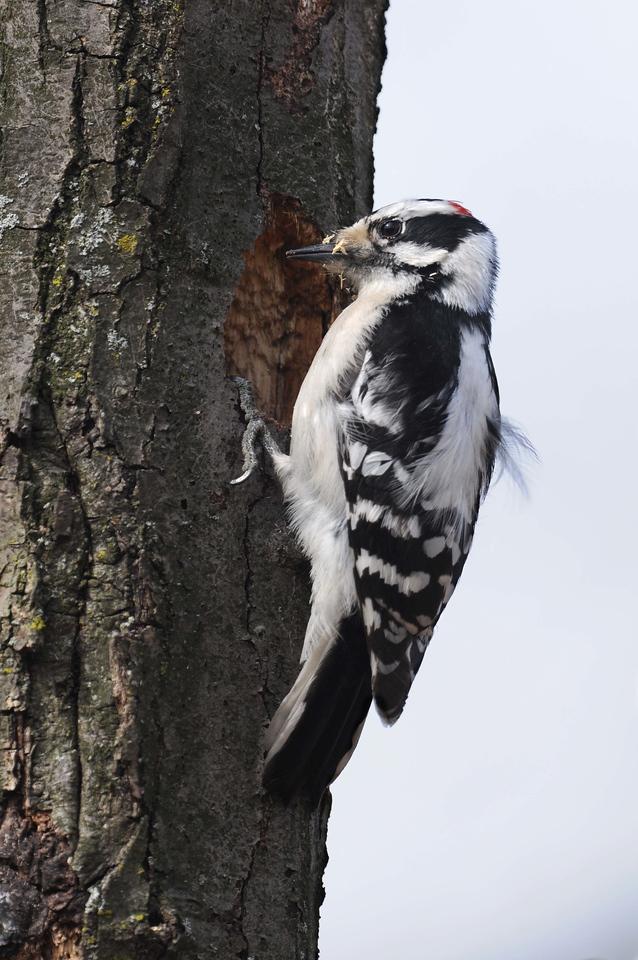 Downy Woodpecker Excavating Nest