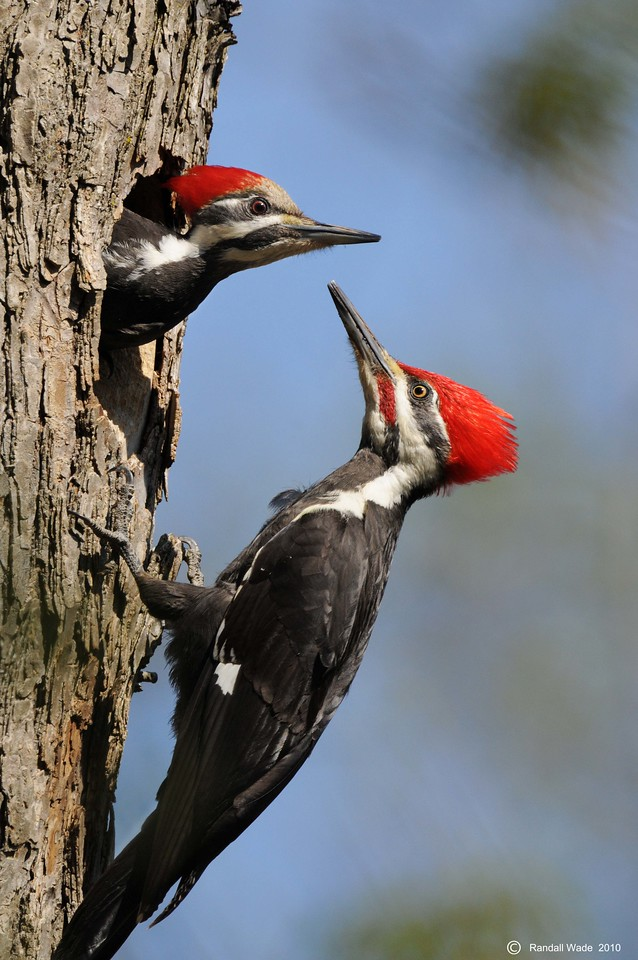 Pileated Woodpeckers at Nest