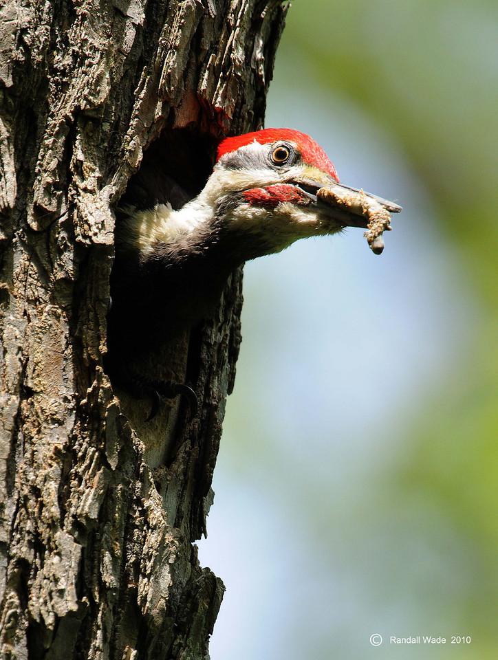 Pileated Woodpecker with Fecal Sac
