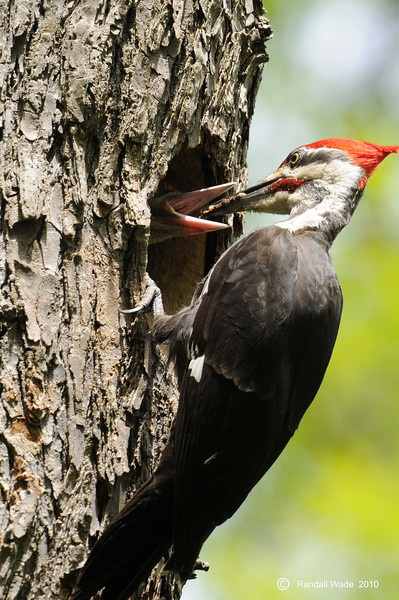 Male Pileated Woodpecker Feeding Young