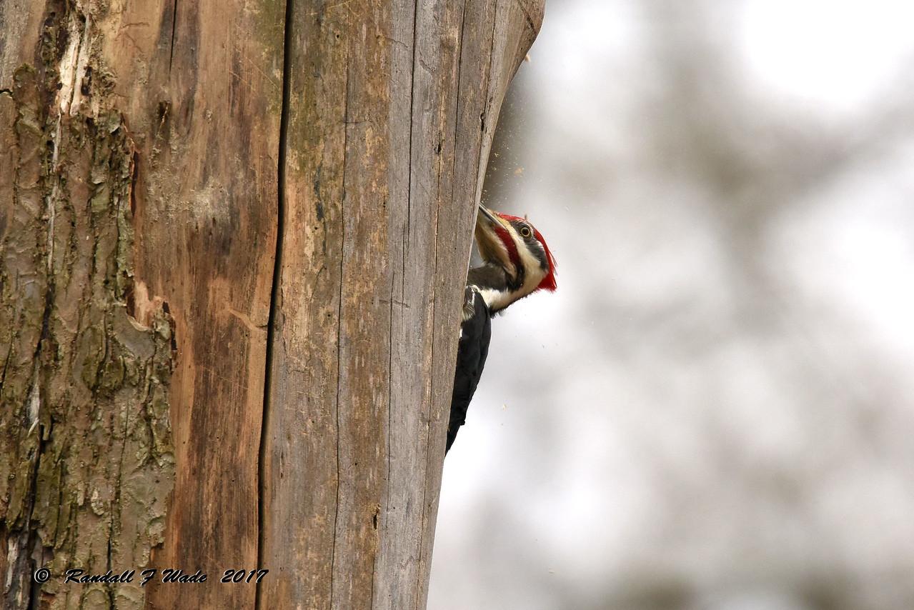 Excavating Pileated Woodpecker