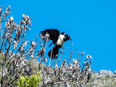 Pied Crow (Corvus albus) from Kirstenbosch Botanical Gardens, Cape Town