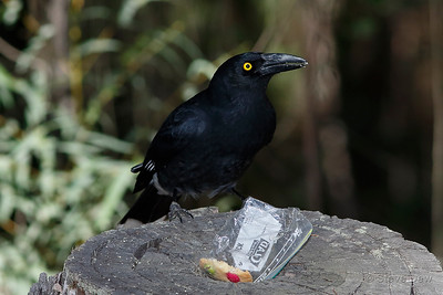 Pied Currawong with someone's smoko!