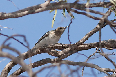 Pied Honeyeater - Female