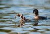 Pied-billed Grebe (Podilymbus podiceps) : Parent teaching juveniles to hunt.