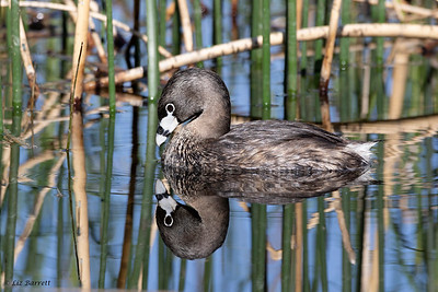 0U2A3036Pied-Billed Grebe20