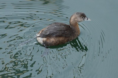 Pied -billed Grebe  MG_3749 -