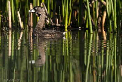 202A9870_Pied-billed Grebe