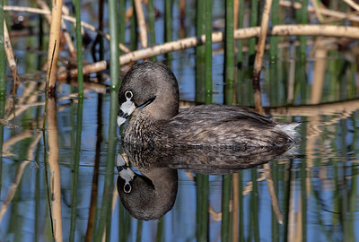 Pied-Billed Grebe0U2A3036