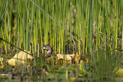 202A7740_Pied-billed grebe
