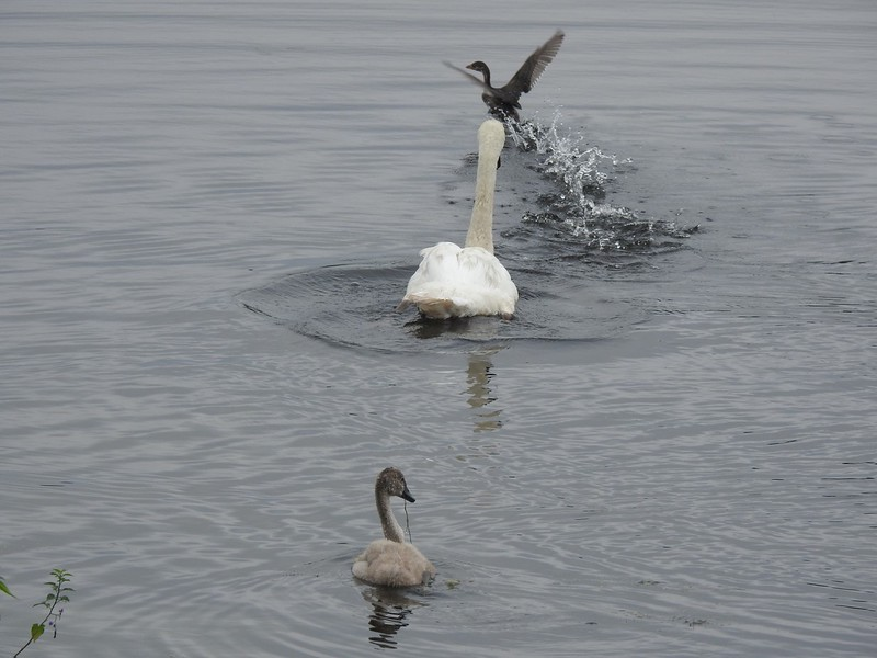 Annoy-a-Swan  game gone awry
