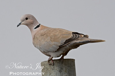 Eurasian-collared Dove