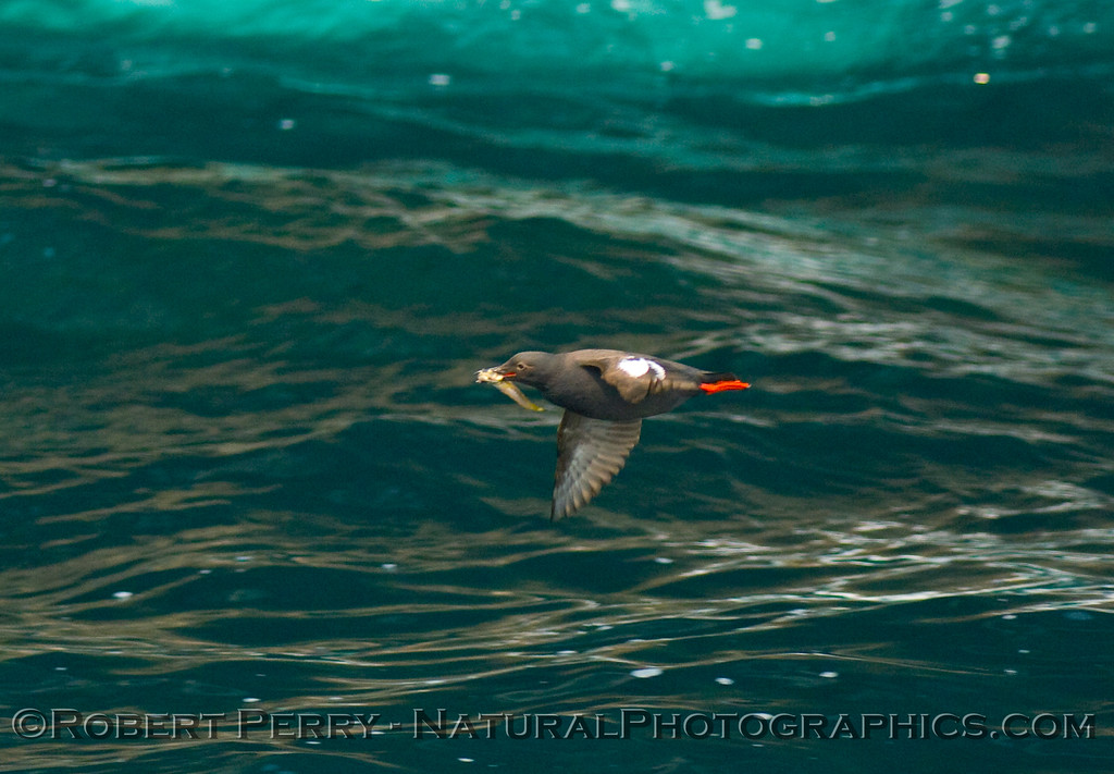 Cepphus columba, Pigeon guillemot, with fish; image 2 of 2.