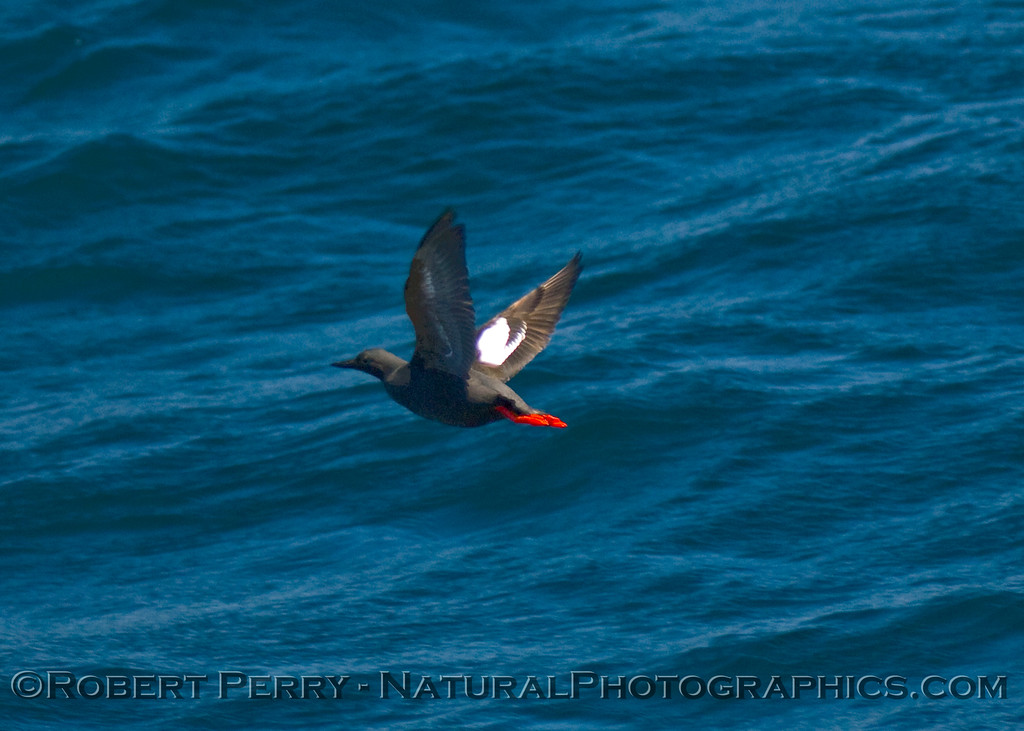Cepphus columba, Pigeon guillemot, in flight.