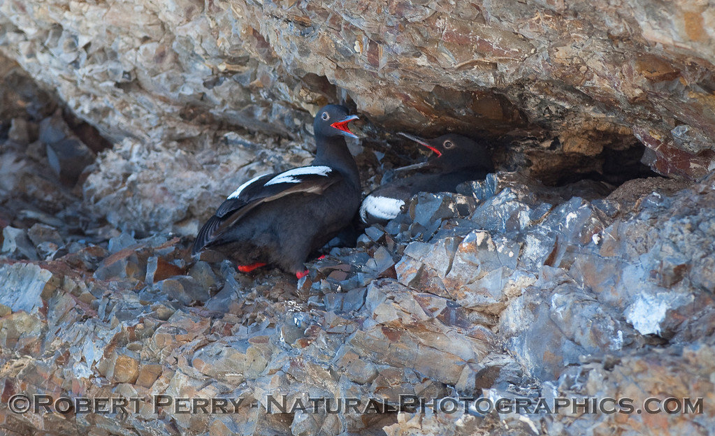 Cepphus columba nests 2010 07-14 Shell Beach - 029