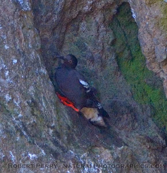 cepphus nesting
