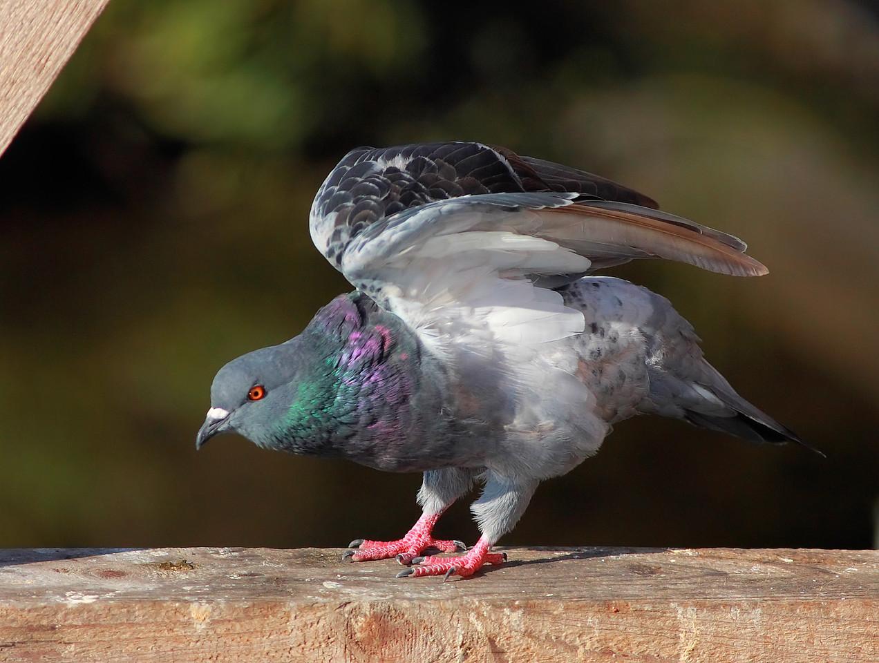 Ta Da! Super Pigeon!