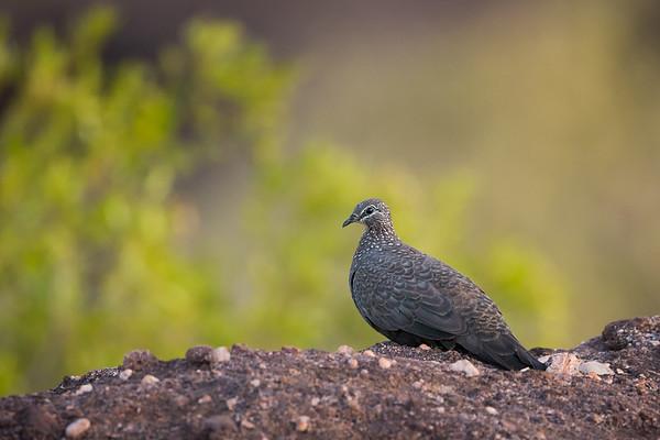 Chestnut-quilled Rock Pigeon_DS_5451