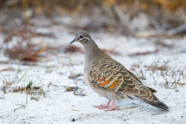 Common Bronzewing_2579