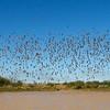 Flock Bronzewing