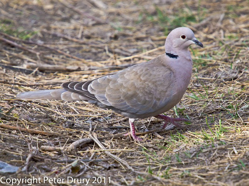 22 March 2011. Collared Dove in the Chalk Quarry.  Copyright Peter Drury 2011