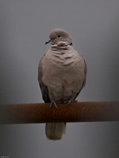 Collared Dove (Streptopellia decaocta). Copyright 2009 Peter Drury