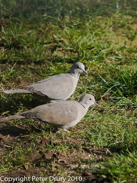 Collared Dove. Copyright Peter Drury 2010