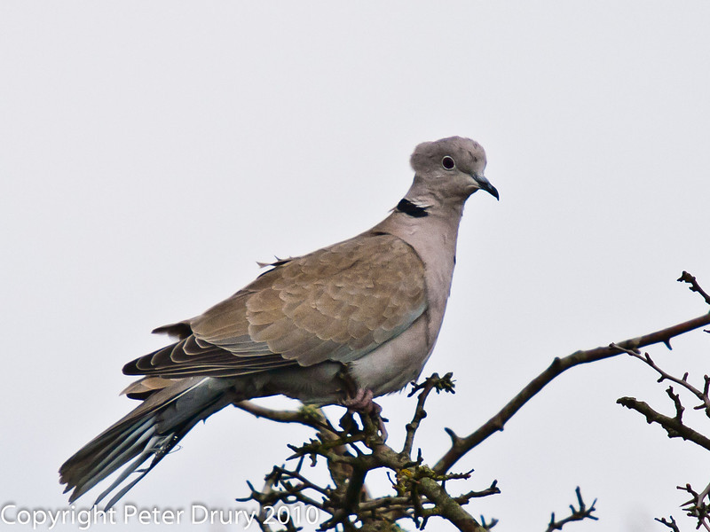 04 Apr 2010. Collared Dove at Portchester Common. Copyright Peter Drury 2010