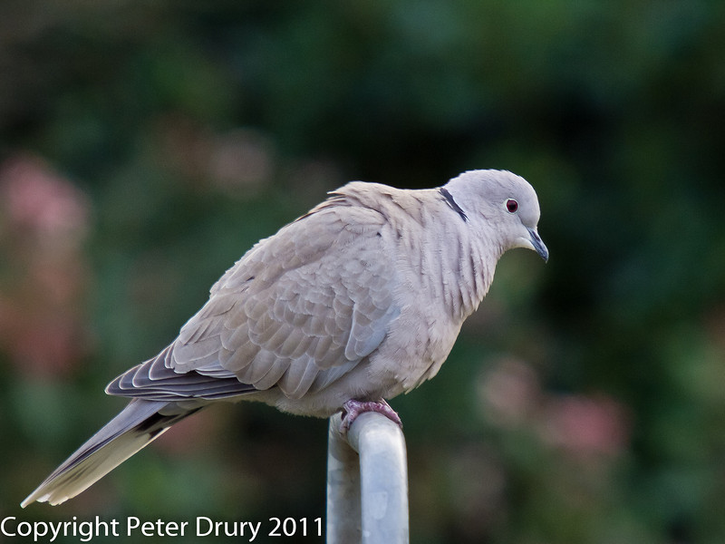 24 January 2011. Collared Dove at our bird feeding station.  Copyright Peter Drury 2011