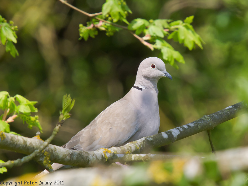 19 April 2011. Collared Dove in the Chalk Quarry.  Copyright Peter Drury 2011
