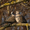Collared Dove (Streptopellia decaocta). Copyright 2009 Peter Drury