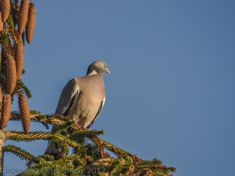11 January 2012 Wood Pigeon on conifer.