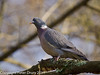 08 March 2011. Wood Pigeon in the Queens enclosure, Cowplain. Copyright Peter Drury 2011