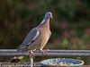Our dominant Wood Pigeon. He stands guard over the feeding bowl and drives off other pigeon and other larger birds. Copyright Peter Drury 2011