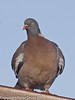 Another Wood Pigeon waiting for its chance to seize some of the food. Copyright Peter Drury 2011