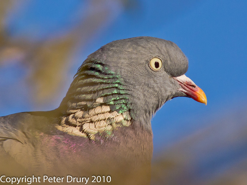 26 Nov 2010 - Wood Pigeon head profile. Copyright Peter Drury 2010. From RAW file