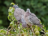 17.Aug 2011. Wood Pigeon in a pear tree at Widley.