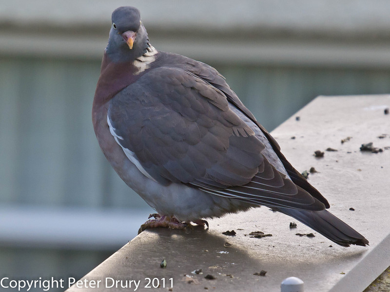 A hopeful Wood Pigeon, waiting for the dominant pigeon to drop its guard. Copyright Peter Drury 2011