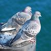 Rock (Feral) Pigeons (Columba livia)