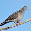Bar-shouldered Dove, Spit, Gold Coast, Queensland.