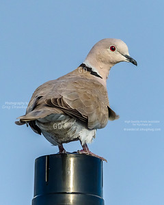 Eurasian-colared Dove