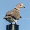 Eurasian-colared Dove