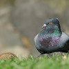 Pigeon, Macintosh Island Park, Gold Coast, Queensland.