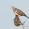 Bar-shouldered Dove (Geopelia humeralis)