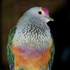 Rose-crowned Fruit Dove, Ptilinopus regina