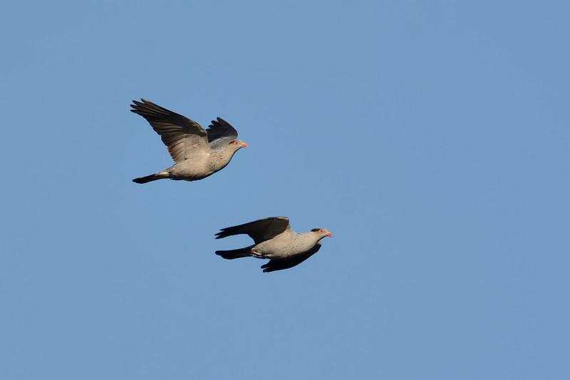 Topknot Pigeon (Lopholaimus antarcticus), Tallebudgera Creek, Burleigh Heads, Queensland.